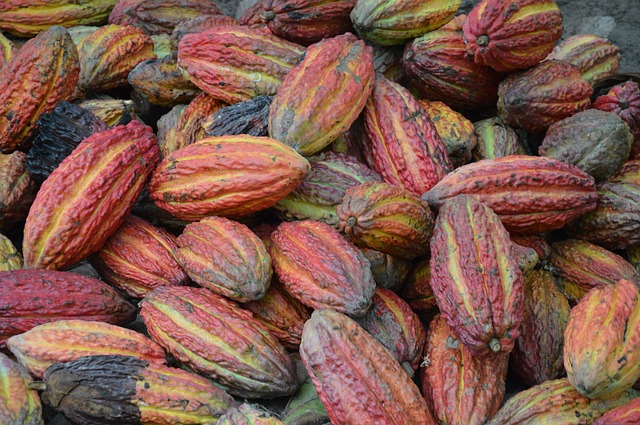 sklizeň kakaovníku